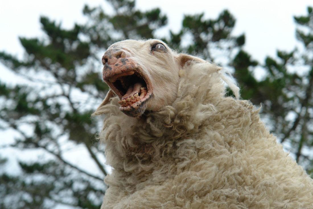 Shocktober: Black Sheep